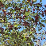 Tree branch with dark red berries.