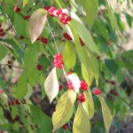 Tree branch with bright red berries.