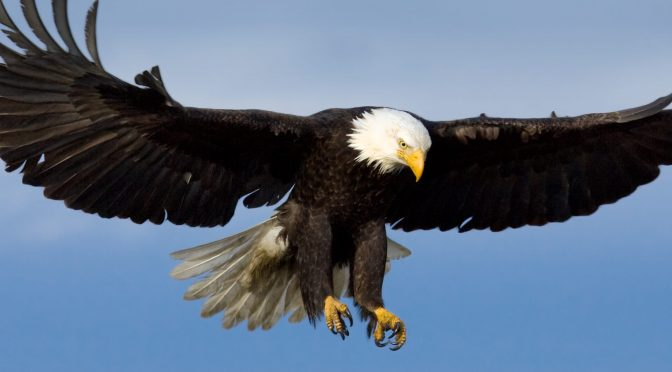 Bald Eagles Are Back